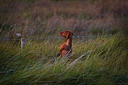 Gun Dog Peering 671A1757 