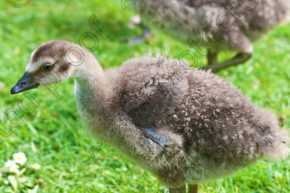 Juvenile Pink Footed Goose MG 4507 